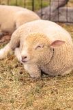 Young lamb sheep rests in a pen on a farm Stock Photos