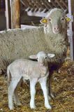 Young lamb and sheep Stock Image