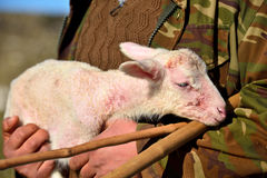 Young lamb with shepherd Royalty Free Stock Image