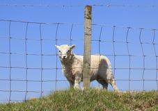 Young Lamb Royalty Free Stock Photography
