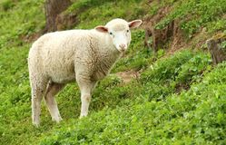 Young lamb in spring Stock Photos