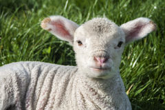 Young Lamb in Spring Stock Image