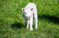 Young Lamb standing Royalty Free Stock Photography