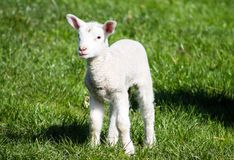 Young Lamb Royalty Free Stock Images