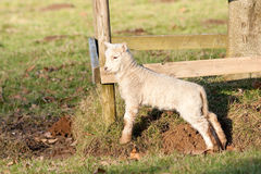 Young Lamb by Sunlit Fence Stock Images