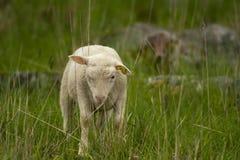 Young lamb Stock Image