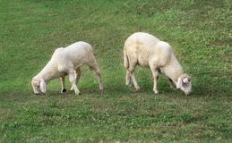 Young lamb. Two young lamb eating juicy grass on a green lawn royalty free stock image