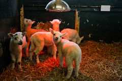 Young Lamb under heat lamp. Young lambs being reared indoors in a small pen by a farmer under a heat lamp to keep them warm Stock Photography