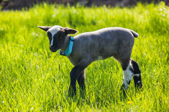 A young lamb Stock Photography