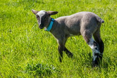 A young lamb Royalty Free Stock Images