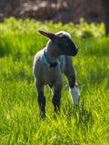 A young lamb Stock Photos