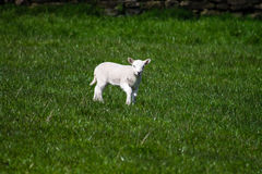 Young Lamb Royalty Free Stock Photo