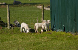 Young Lambs. Young Spring Lambs investigate their surroundings Royalty Free Stock Photo