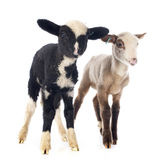 Young lambs Royalty Free Stock Images