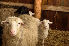 Young lambs and adult sheep Royalty Free Stock Photo