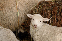 Young lambs and adult sheep Royalty Free Stock Images