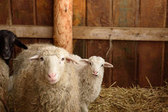 Young lambs and adult sheep Stock Photo