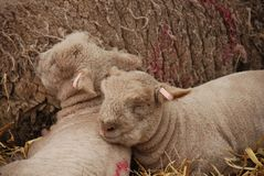 Young lambs, England Royalty Free Stock Photo