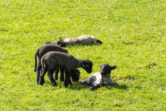 Young lambs on a green grass Stock Photo