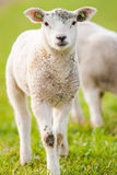 Young lambs in a green meadow in spring Royalty Free Stock Photo
