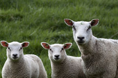 Young lambs and mother Royalty Free Stock Images