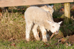 Young Lambs at Play Chewing Leaf Stock Photos