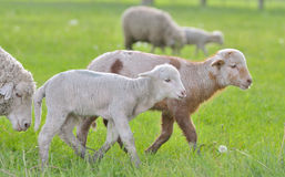 Young lambs and sheep in spring time Royalty Free Stock Photography