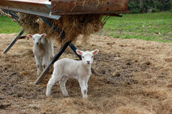 Young lambs standing by a trough Royalty Free Stock Image