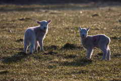 Lambs. Young lambs and their mother in a field on Isle of Anglesey North Wales UK Stock Photo