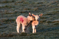 Lambs. Young lambs and their mother in a field on Isle of Anglesey North Wales UK Stock Photography