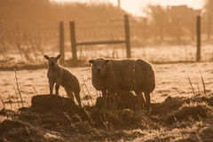 Lambs. Young lambs and their mother in a field on Isle of Anglesey North Wales UK Royalty Free Stock Photography
