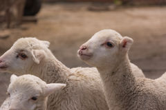 Young lambs. Young lambs walking around the farmstead closeup Stock Photos