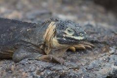 Young Land Iguana. A young land iguana on the Galapagos Islands Stock Image