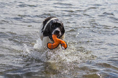 Young landeer playing with a bright orange toy in a lake. A young Landseer European Continetnal Type chases a bright orange toy into the water of lake in western Royalty Free Stock Image