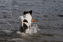 Young landeer playing with a bright orange toy in a lake. A young Landseer European Continetnal Type chases a bright orange toy into the water of lake in western Royalty Free Stock Photography