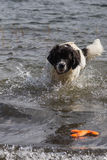 Young landeer playing with a bright orange toy in a lake. A young Landseer European Continetnal Type chases a bright orange toy into the water of lake in western Stock Image