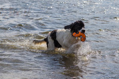 Young landeer playing with a bright orange toy in a lake. A young Landseer European Continetnal Type chases a bright orange toy into the water of lake in western Stock Images