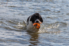 Young landeer playing with a bright orange toy in a lake. A young Landseer European Continetnal Type chases a bright orange toy into the water of lake in western Stock Photos