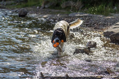 Young landeer playing with a bright orange toy in a lake. A young Landseer European Continetnal Type chases a bright orange toy into the water of lake in western Stock Photo