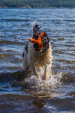 Young landeer playing with a bright orange toy in a lake. A young Landseer European Continetnal Type chases a bright orange toy into the water of lake in western Stock Photography