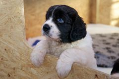 Young Landseer ECT pup looking out into the world. A five weeks old female Landseer European Continental Type (ECT) trying to get an early look of the world Royalty Free Stock Image