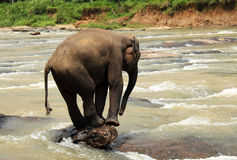 Young Lankesian Elephant. (Elephas Maximus Maximus) Balancing on a Stone in Ma Oya River, Pinnawela, Sri Lanka Stock Images