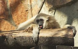 A young lar gibbon is licking a bark of a stub with its tongue Royalty Free Stock Photos