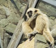 A young lar gibbon is sitting high abobe Royalty Free Stock Photos