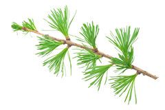 Young larch branch Stock Photo