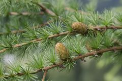 Young larch cones royalty free stock images