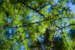 Young larch needles. In evening sun Royalty Free Stock Photos