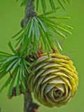 Young Larch Pine Cone royalty free stock image