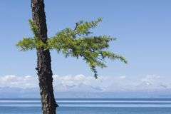 Young larch on a shore Royalty Free Stock Photography