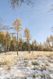 Young Larch Trees and Snow in Scotland. Royalty Free Stock Images